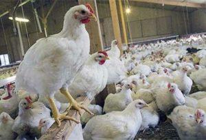 زیان ۷۰۰۰ میلیاردی مرغداریهای کشور